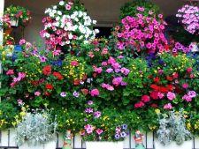 Cascada florala de iunie. Iata ce plante curgatoare iti pot impodobi terasa si balconul!