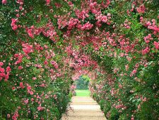4 lucrari de toaletare si inmultire a trandafirilor din gradina ta