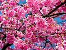 5 soiuri de ciresi ornamentali pentru o gradina cu aer oriental