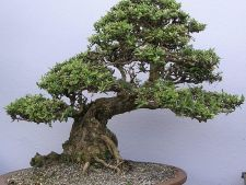 Arta bonsai in 7 pasi: Cum sa iti modelezi arbustii decorativi din casa!