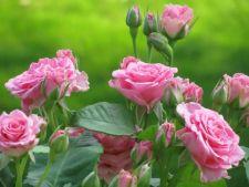 5 sfaturi pentru ingrijirea corecta a trandafirilor de gradina