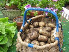 7 soiuri de cartofi pe care trebuie sa le cultivi pentru gustul lor deosebit