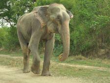 50 de ani de sclavie. Un elefant a plans cand a fost eliberat . Imaginile sunt impresionante