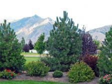 5 conifere pentru decorarea curtilor si a gradinilor de piatra. Tu ce alegi sa plantezi?