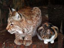 prietenie linx pisica 3