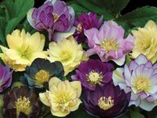 5 plante colorate carora le place umbra
