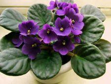5 secrete ale ingrijirii violetelor africane