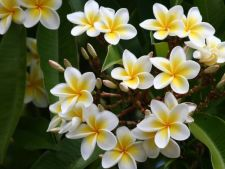 Invata sa cultivi magnificul Frangipani