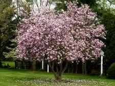 Cum sa ingrijesti magnolia pentru a te bucura de florile ei superbe