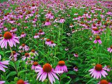 5 sfaturi pentru cultivarea corecta a echinaceei. Iata ce trebuie sa faci!