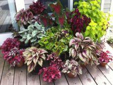 Begonia, planta colorata ce merita rasfatata