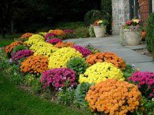 Crizantemele, florile care infloresc cat e toamna de lunga