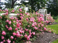 5 soiuri de trandafiri numai buni de plantat acum