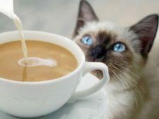 cafenea pisici