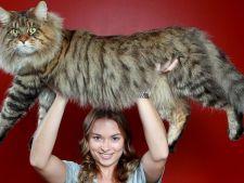 pisica rupert maine coon