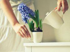 3 plante albastre de interior