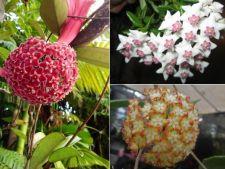 Liane cu flori delicate, pentru o casa parfumata