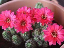 Cactusii,