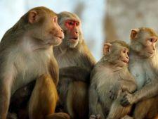 Maimutele, mai abile decat oamenii. Iata domeniul la care ne depasesc cu brio