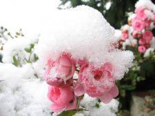 4 moduri usoare in care poti proteja trandafirii din gradina de zapada si ger