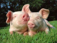 Avertisment dur in prag de Sarbatori: carnea de porc e nociva!