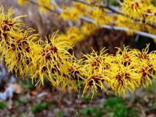 Gradina de iarna cu parfum. Iata ce plante ar trebui sa cultivi in sezonul rece!