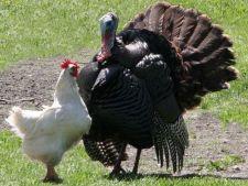 Carne de pui sau carne de curcan? Invata cum sa alegi ce e mai bun pentru tine