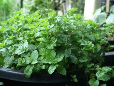 5 plante aromatice pentru colturile umbroase ale gradinii tale
