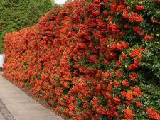 Cum sa iti amenajezi un gard viu din plante comestibile