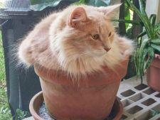 pisica in ghiveci 1