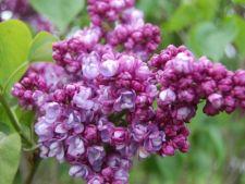 Liliacul, floarea care te vindeca de nenumarate boli