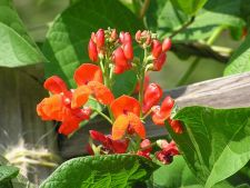 O gradina comestibila si frumoasa: 3 legume cu care poti decora gradina