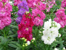 Cum sa cultivi micsunele colorate si parfumate