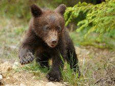 Inedit! Un pui de urs de la Gradina Zoologica din Brasov are doua mame