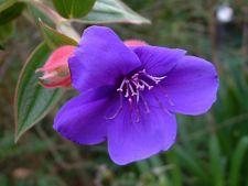 Infrumuseteaza- ti casa si terasa cu Tibouchina, planta tropicala viu colorata