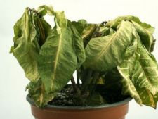 planta uscata