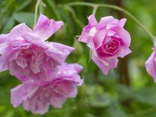 Trandafiri Flora