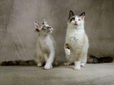 hepta pisici