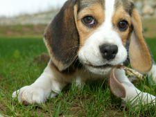 beagle Hepta