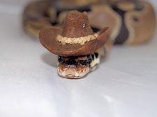 Palariile, o noua moda printre... serpi