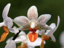 hepta orhidee