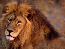 Se intampla in Romania! Sfasiata de leu in curtea casei