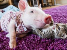 prietenie porc pisica