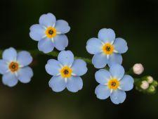 nu ma uita floare