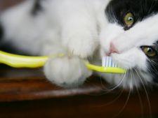 Importanta curatarii dintilor pisicii. Ce trebuie sa stii