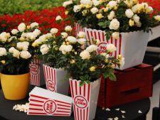 Popcorn Drift, un trandafir campion, unic in Romania