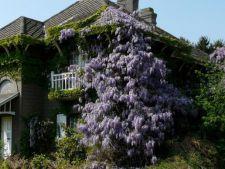 Top 3 cele mai frumoase plante cataratoare, ce-ti vor inviora gradina