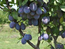 Cum sa ingrijesti corect pomii fructiferi in luna iulie