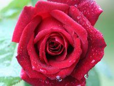 Cum sa ingrijesti trandafirii in timpul verii! Sfaturi de la specialisti