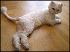 5 motive pentru a tunde o pisica